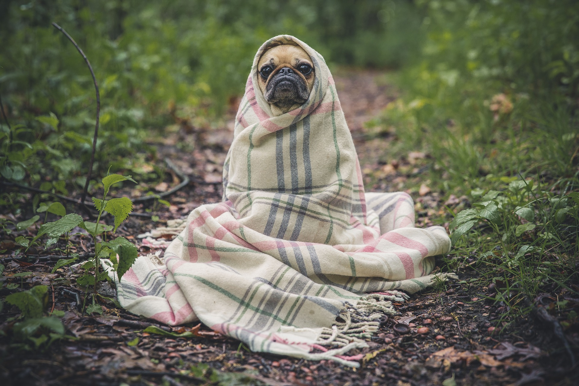lonely pug in blanket